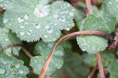 spring in the yard (packofhuskies) Tags: waterdrops ladysmantle