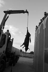 La silueta (Julin del Nogal) Tags: animal silhouette dead death bull deadanimal silueta toro cruelty cadaver cruel crueldad izado