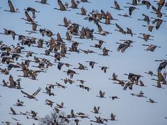 160320-Spring Migration-7 (Lynnette_) Tags: birds animals march spring nebraska seasons events places cranes rivers month sandhillcranes 2016 springmigration platterivervalley naturesubjects cranemigration cranescootsandrails