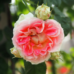 Rose, Csar, , , (T.Kiya) Tags: rose csar    flowerfestivalcommemorativepark