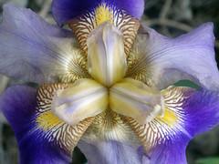 DSC00237 (gregnboutz) Tags: flowers flower macro gardens colorful macros macroflowers gardenflowers macroflower gardenflower colorfuliris macroiris macroirises colorfulmacros colorfulirises