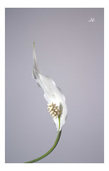 Simple (J/Mariajo Gamero) Tags: flor minimalismo clavealta