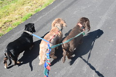 Out for a walk (Tobyotter) Tags: frank dachshund link jimmydean