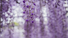 memory of the past (keita.asakura) Tags: color nature beautiful beauty japan purple bokeh memory wisteria