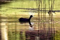 Rednobbed Coot (snatch42) Tags: bird wildlife coot avian wetland birdphotography avianart avianphotography nikond7100