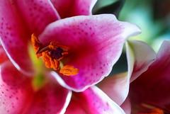 Necessities (Renee Rendler-Kaplan) Tags: flower macro home nature nikon colorful mine lily blossom indoors bloom april handheld vase inside bouquet wbez blooming necessities chicagoist 2016 chicagoreader nikond80 beautifulmothernature reneerendlerkaplan