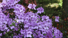 Purple Azaleas (Lawrence OP) Tags: washingtondc azaleas arboretum national