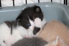 321/365/2877 (April 27, 2016) - It's Kitten Season!  Cats and Kittens at Crafty Cat Rescue (Ann Arbor, Michigan) - Wednesday  April 27, 2016 (cseeman) Tags: cats pets animals michigan annarbor kittens caring shelter adoption catrescue catshelter project365 kittenseason craftycatrescue yeareightproject365coreys 2016project365coreys 356project2016 p365cs042016 kittenseason2016 kittens2016 craftycatphotos04272016
