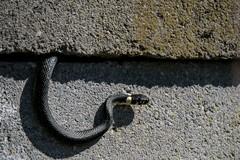 Peek-a-boo (pakerholm) Tags: animal animals nikon sweden snake wildlife sigma 600 sverige orm srmland djur grasssnake d600 d610 sdermanland sigmasport natrixnatrix snok nikond600 vildadjur skra 150600 sigma150600 nikond610 sigma150600mmf563 sigma150600f563dgsports