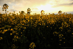 RapsBlten (FarbenfroheWunderwelt) Tags: flowers summer sun nature field yellow canon walk awesome natur rape raps catchy uww eos550