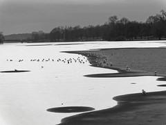 Ice Age - 001-0010_Web (berni.radke) Tags: schnee winter snow ice iceage eis mnster winterlandscape winterlandschaft aasee eiszeit