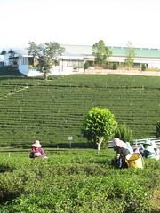 Thailand - Doi Mae Salong - Choui Fong Tea plantation - Tea pickers (JulesFoto) Tags: thailand teaplantation goldentriangle doimaesalong teapickers chouifongtea