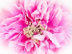 Firework (H.H. Mahal Alysheba) Tags: pink plant flower macro japan lumix peony macroelmarit 45mmf28 gx7 leicadg
