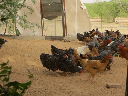 Ferme bio à Nouakchott