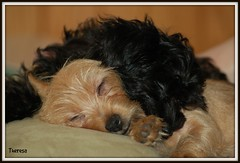 Our little angels (bankst) Tags: sleeping brown black dogs animals puppies mischief corkie yorkiepoo sleepingpuppies