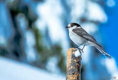 Grey Jay (_ Ivor_) Tags: oregon jay craterlake bid greyjay 18300 18300mmf3556 d7200 nikond7200