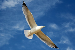 (ejb2307) Tags: sky bird canon fly flying seagull vlucht flight floating lucht vogel zweven vliegen zeemeeuw canoneos550d