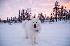 Quinn (Flickr explore February 1 2016 301) (nwtarcticrose) Tags: pink winter dog white snow samoyed snowdogs dogsinsnow samoyeds flickrexplore explored flickrexplored