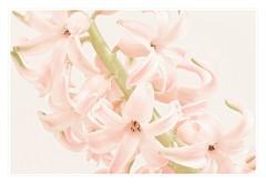 Hyazinthe HK (M. Franziska D.) Tags: blumen highkey blten hyazinthe