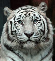 witte tijger amersfoort JN6A7681 (j.a.kok) Tags: tiger tijger whitetiger amersfoort bengaltiger wittetijger pantheratigristigris