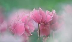 The White Season (lfeng1014) Tags: toronto flower macro closeup dof bokeh depthoffield greenhouse dreamy cyclamen macrophotography lifeng  pinkcyclamen centennialparkconservatory canon5dmarkiii 70200mmf28lisii thewhiteseason