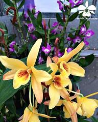 Dendrobium nobile 'Meinen Hebammen' #orchids #Orchidee #Orchideen #Orchideengarten #orchideen #orkider # #orqudea #orchidstagram #instaorchids #instaflowers #nature #naturelovers #instanaturelovers #orchidlovers #instagardenlovers #iloveorchids (orchideengartenkarge) Tags: flowers flores orchid flower orchids blumen blume orquideas orchideen orkideer orchideengarten