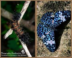 Metamorfose - Hamadryas amphinome (Marquinhos Aventureiro) Tags: brazil brasil butterfly wildlife natureza caterpillar vida borboleta floresta lagarta metamorfose metamorphose selvagem hamadryas amphinome marquinhosaventureiro