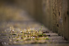Moss (Pittypomm) Tags: water wall fence droplets moss hff