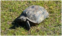 Sawgrass Lake Park - St Petersburg, Florida (lagergrenjan) Tags: park lake st florida turtle petersburg sawgrass