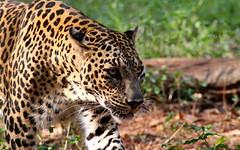 The Beast - Indian Leopard (savio.sanches) Tags: macro animal closeup cat canon big eyes outdoor walk wildlife indian spots leopard di stare beast predator tamron scare stroll stalking ld carnivore fusca 70300 panthera pardus 1100d