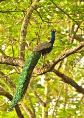 Grandeur and poise (Jesu Dominic) Tags: bird peacock majesty grandiose
