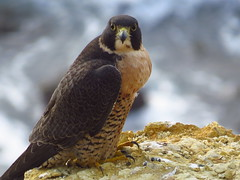 beautiful peregrine falcon at point vicente (1) (gskipperii) Tags: ocean water beautiful animal fauna dark pretty waves wildlife gorgeous tide pacificocean raptor falcon oceanview pv regal peregrine stately palosverdes darkmorph pointvicente rpv