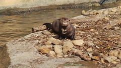 Yzma, Giant River Otter (beachkat1) Tags: river giant zoo otter zooatlanta yzma giantriverotter