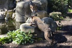 2015.09.28.115 PARIS - Zoo de Vincennes  - Europe - Loup ibrique (alainmichot93 (Bonjour  tous)) Tags: paris france seine ledefrance combat animaux boisdevincennes 2015 zoodevincennes parczoologiquedeparis paris12mearrondissement loupibrique maledominant