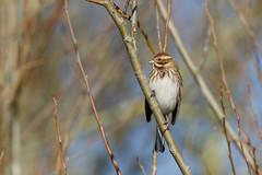 Reed bunting f (Steve Balcombe) Tags: uk bird female somerset levels rspb greylake reedbunting emberiza schoeniclus
