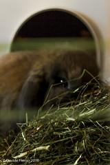 Bob behind the bars (df18photos) Tags: rabbit animals bob animali coniglio hollandlop arietenano miniaturelop