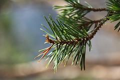 Shine on you (natural illusions) Tags: wild outdoor pine tree plant branch april pentax k200d dof rawtherapee imagemagick sunlight green bokeh naturalcolors closeup slovenia europe nature depthoffield lb1415 interesting allrightsreserved pomlad