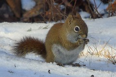 Red Squirrel (smkeereweer) Tags: red backyard squirrel redsquirrel