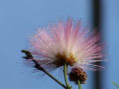 Powder Puff Calliandra surinamensis (FoxInTheWoods) Tags: pink flower tree spiky greenhouse publicgarden powderpuff macroflower towerhillbotanicgarden calliandrasurinamensis