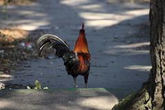 Canon201802 (godrudy6661) Tags: chickens chicken neworleans ninthward wildchicken feralchicken