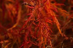 Maple Flames (SunnyDazzled) Tags: red orange macro fall nature leaves garden botanical japanese maple colorful foliage fancy skylands