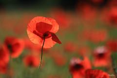 Sur un petit air de printemps (phidel60) Tags: flowers france flower fleur fleurs rouge coquelicots fleurssauvages fleursdeschamps
