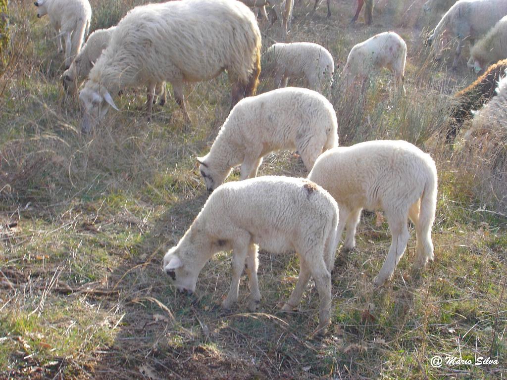 Águas Frias (Chaves) - ... ovelhas pastando ...