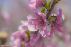 Con olor a Melocotn (akel_lke ) Tags: naturaleza flower fleur nikon rosa blumen murcia campo blomma bunga fiore elke virg hoa vacas lore rakel bloem lill  blm iek floro melocotn kwiat blodau espinardo paj cieza  kukka    cvjetni zieds  kvtina kvetina floare iedas  floracin  regindemurcia d300s nikond300s rakelelke rakelmurcia