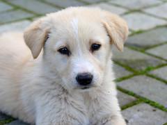 P1080210 (Sandra Preussel) Tags: dog baby white cute look animal animals puppy eyes beige furry puppies hund cutepuppy hündchen