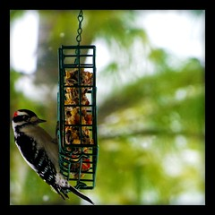 Woodpecker (jaycabrera470) Tags: winter bird woodpecker thatsclassy