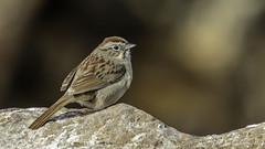 Rufous-crowned Sparrow (Bob Gunderson) Tags: california birds northerncalifornia wrens southbay santaclaracounty catherpesmexicanus canyonwren coyotelakecountypark