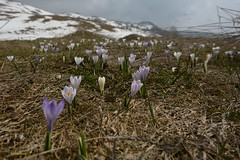 Crocus della Lessinia (Ivo Markes) Tags: crocus nationalgeographic nwn lessinia lessini weatherphotography worldwidelandscapes nikonflickraward nikonclubit nikond7100