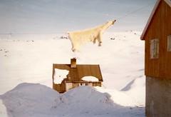 ANGMAGSSALIK - EAST GREENLAND - 1974/1977 (LARSERAQ) Tags: snow may historic greenland 1975 scanning icebear grnland angmagssalik nanok eastgreenland larseraq kodakcolorprint tassillaq