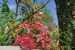 IMG_1958 (CrisMali) Tags: cemetary brightred bellugraveyard everredbush